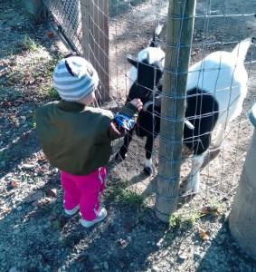Feeding Goats